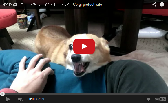 Chiro the corgi talks, shakes hands, wiggles her bootie, and wins our hearts