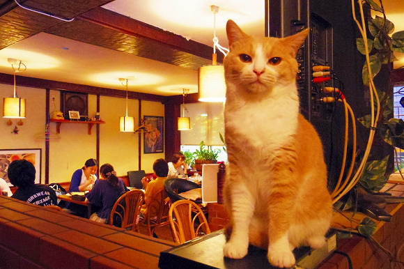 Tokyo's cat pub, the cat cafe for grown-ups