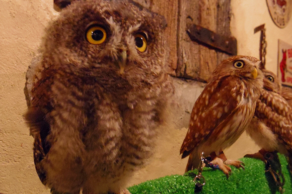 Get a little Harry Potter-esque owl action at a bird cafe in Asakusa