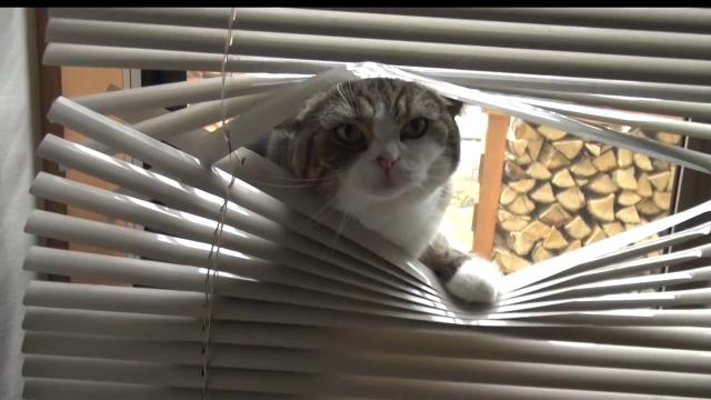 【Bonus Monday Kickstart】Maru up to usual adorable antics, now featuring window blinds