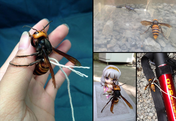 Twitter user shows us how to make your own pet Japanese giant hornet
