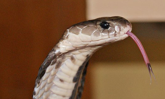 Chinese chef dies after being bitten by the severed head of a cobra he was cooking