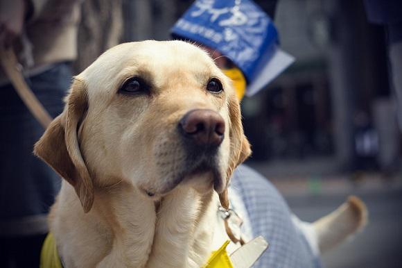 Culprit in guide-dog stabbing still at large, Saitama citizen offers up enormous cash reward