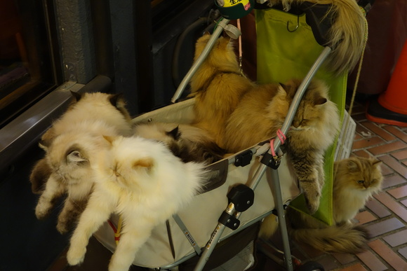 Cat man from Kyushu walks nine cats in a stroller, draws crowds in Tokyo