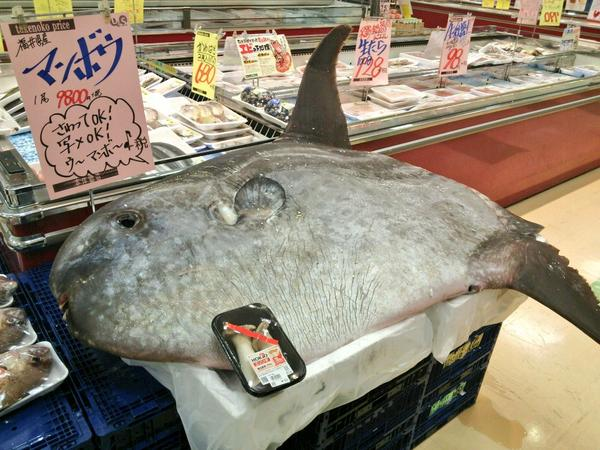 You can buy this huge sunfish at a supermarket in Japan