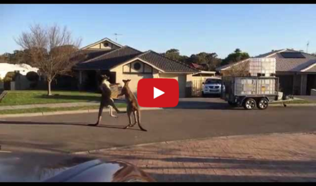 Just a typical day in Australia watching kangaroos fight in the middle of the street