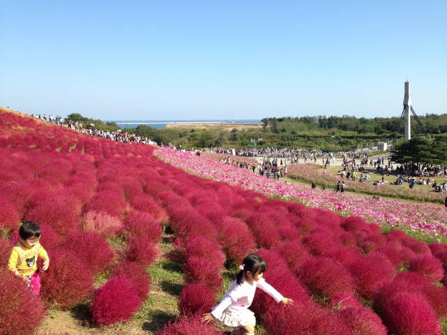 Crimson-covered Hitachi Seaside Park: Beautiful, awesome, and easy to get to from Tokyo【Photos】