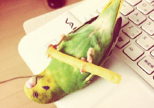 Cute, snack-loving Japanese parakeet proves even birds go into food comas