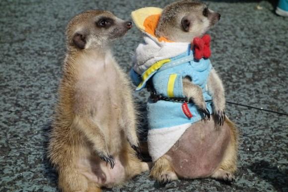 Meerkats12