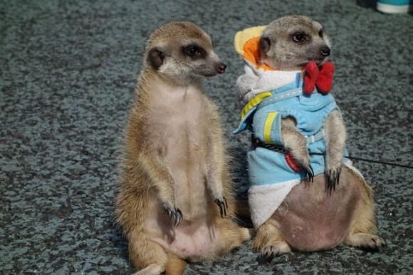 Meerkats14