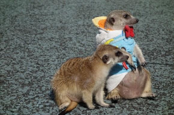 Meerkats19