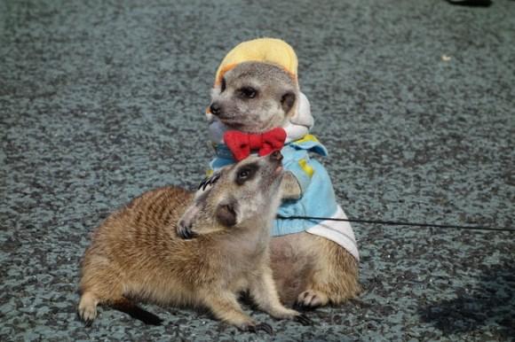Meerkats26