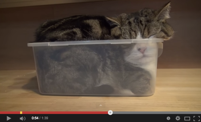 The most famous cat in Japan shows us exactly how he fits his chubby body in a box