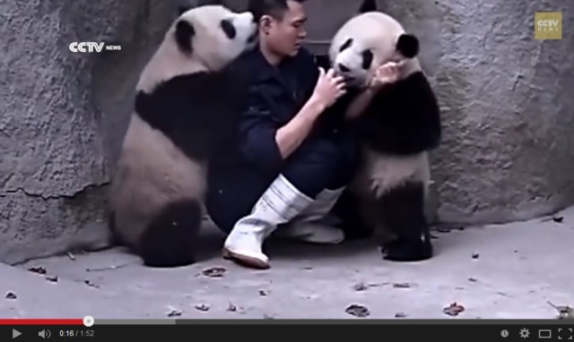 Video of guy giving pandas medicine is insanely cute, unless you're the guy
