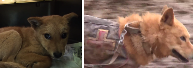 Touching video chronicles pup's transformation from timid pound rescue to brave rescue dog