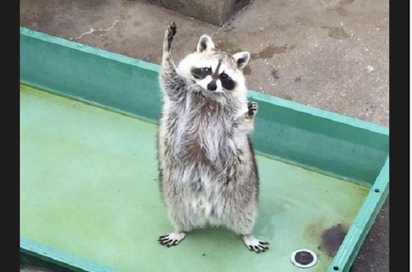 "Twitter user captures raccoon doing a funny ""feed me!"" dance at Nagasaki Zoo"