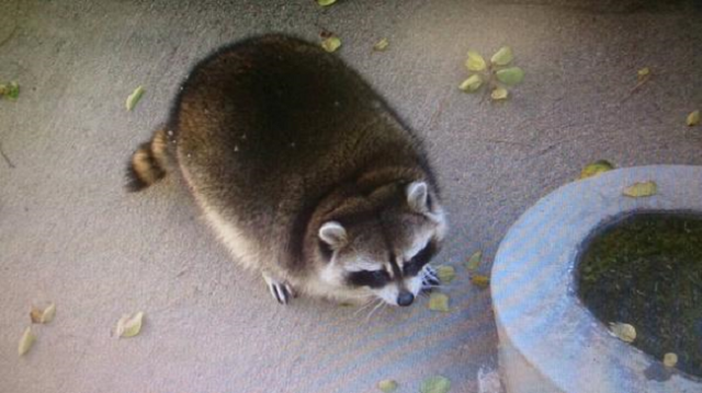 Yamanashi zoo's roly-poly resident raccoon is ridiculously round, remarkably cute