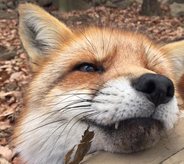 More adorable photos from Japan's fox village