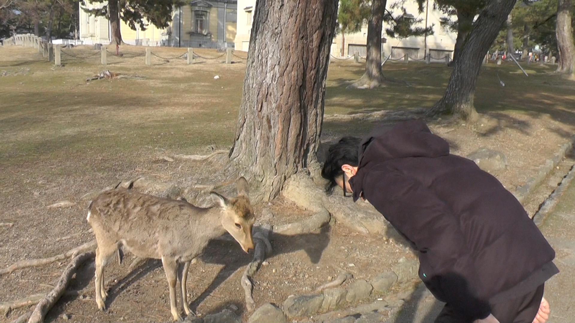 NW_Deer_in_Japan_are_30_09