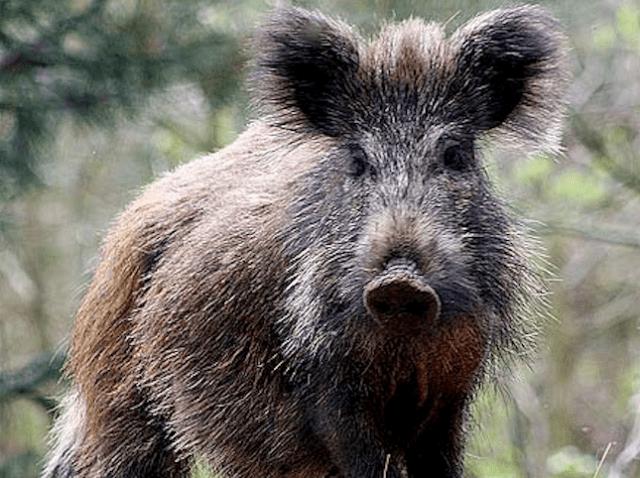 6 people bitten by wild boar in Tokyo