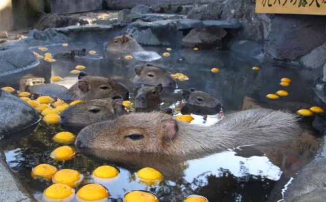 Capybara hot springs are back: Rodent-friendly onsen now available all over Japan