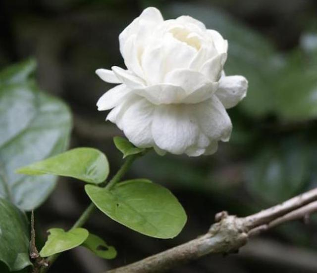 Japanese TV reveals the revolting truth about the source of jasmine's alluring fragrance