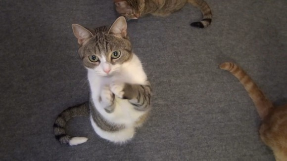 Treats for the sweet! Kitties paw-litely beg for fishy snacks 【VIDEO】