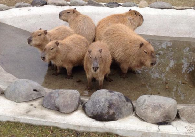 Adorable circular capybara formation proves they look cute even when doing something nasty