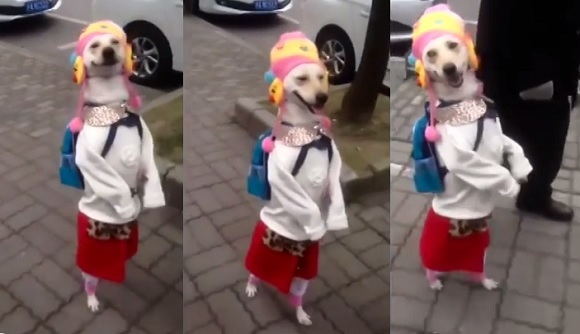 Stylish pup walks the street in China, rocks full outfit complete with hat and backpack 【Video】