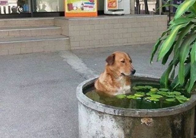 Cute dog turns traditional fish pond into personal swimming pool【Photos】
