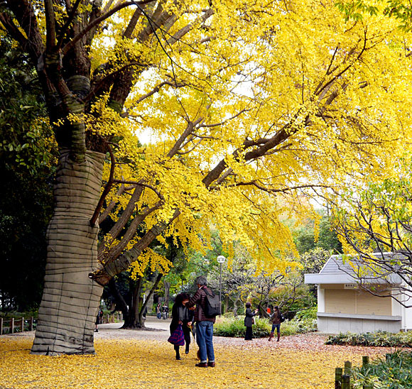 Enjoy the brilliantly colored autumn leaves at Shinjuku Gyoen with Mr. Sato