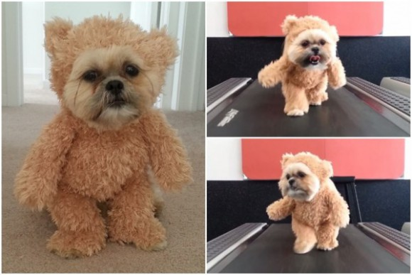 Un-bear-ably cute! Munchkin the Shih-Tzu hits the treadmill in teddy costume【VIDEO】