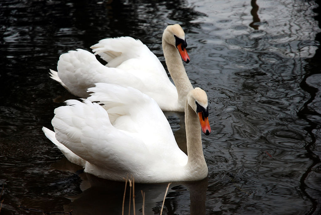 Pair_of_swans_(2335393028)
