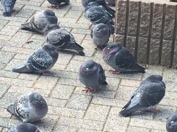 pigeon02