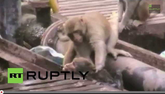 Monkey pulls electrocuted buddy from train tracks, revives him as onlookers cheer【Video】