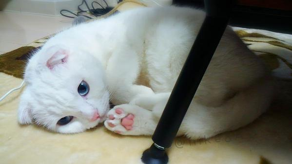 Gorgeous snow-white cat is effortlessly adorable as he keeps warm this winter【Monday Kickstart】