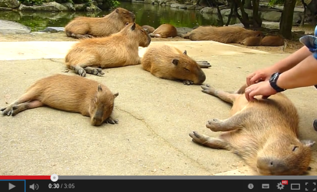 What happens when you scratch a capybara's back? 【Video】