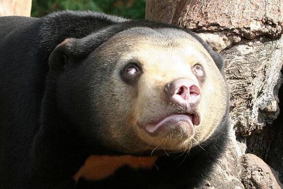 Herp derp! Awkward sun bear is awkward, somehow still adorable【Photos】