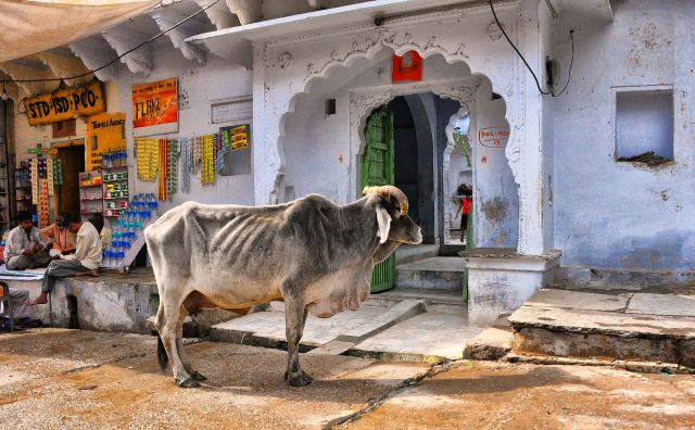 'Cows can marry' and other fascinating bovine facts from India
