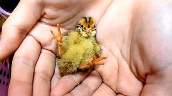 Netizens hatch adorable baby birds from supermarket eggs, provide evidence