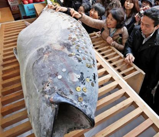 Giant maguro donated to shrine of fishing-god Ebisu