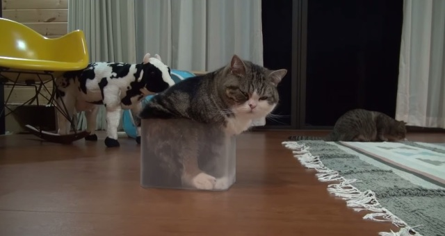 Can Maru fit into the tiny box? He certainly thinks he can… 【Video】