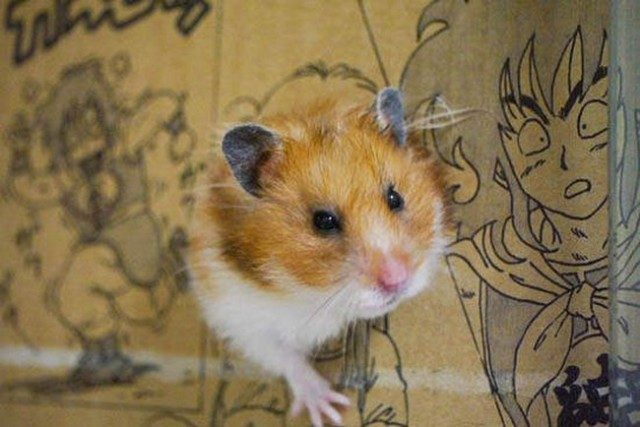 "The surprisingly easy art of getting your hamster to ""cosplay,"" tonnes of cute guaranteed!"