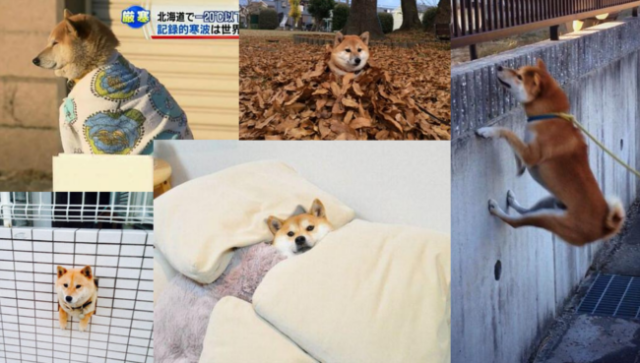Five reasons why Shiba Inu are the absolute best