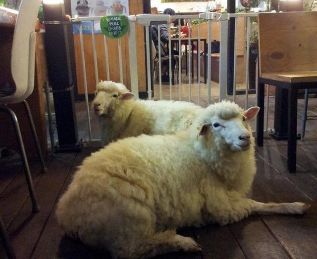Forget cat cafes, there's a cafe in South Korea where you can hang out with sheep!