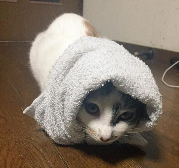 Purritos hit Japan! Twitter users can't stop wrapping their cats and it's too cute!