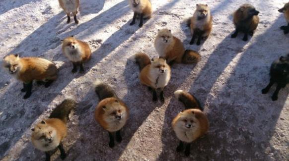 The foxes at Kitsune Village are back to kill you… with more cuteness 【Video】