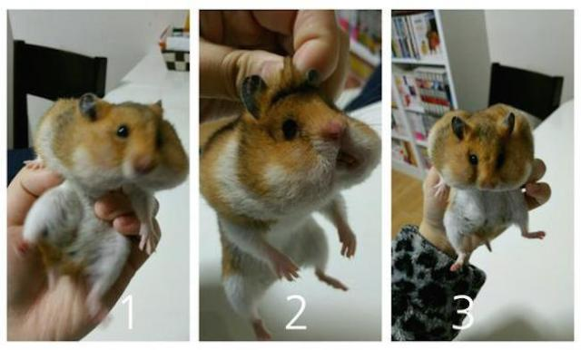 Escaped hamster went on overeating rampage, may have eating issues 【Photos】
