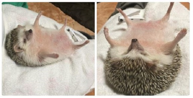 8 photos of Hana-chan chillaxing will make you as happy as a hedgehog on spa day