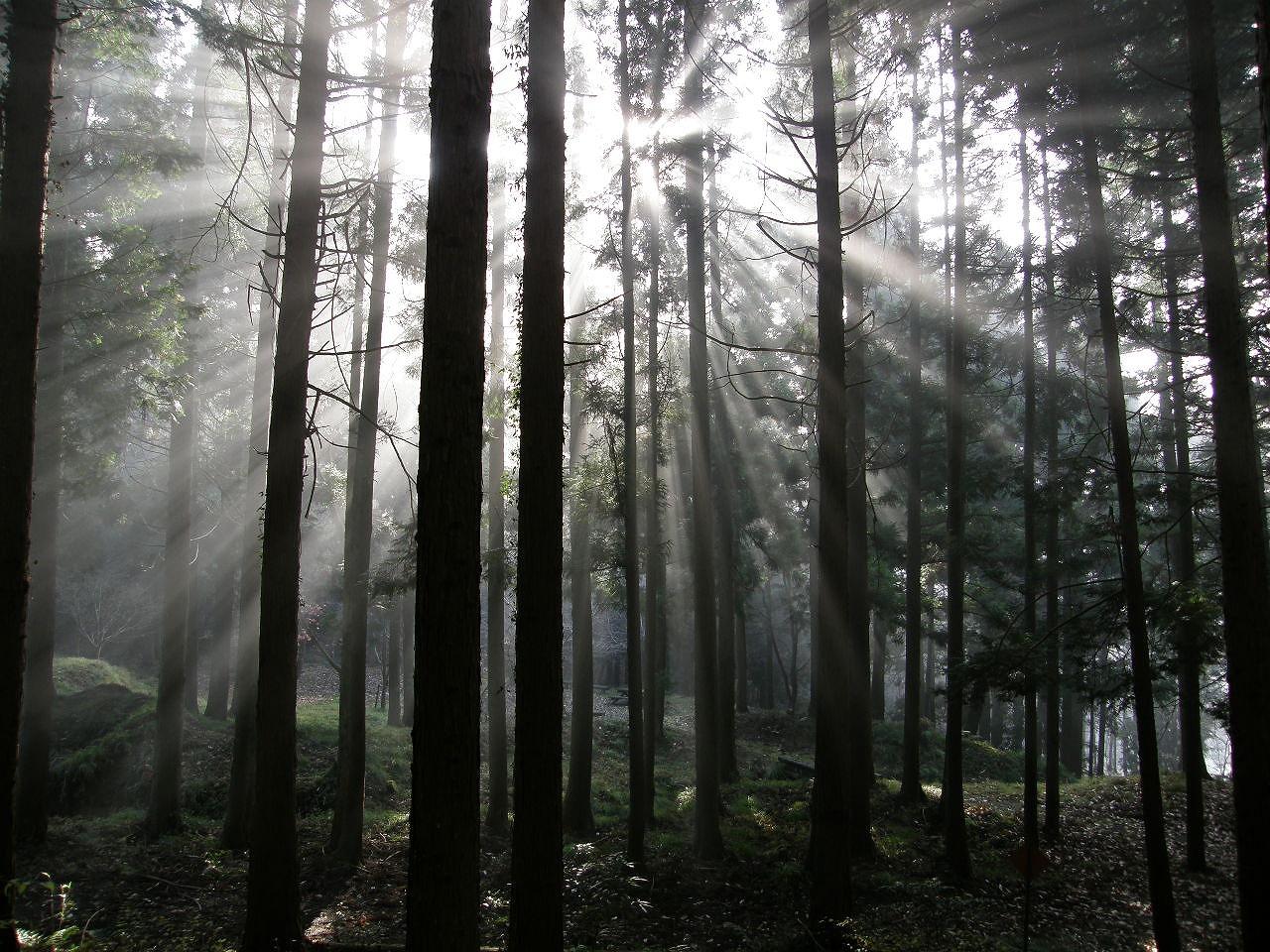 Japanese_cypress_woods_C032473